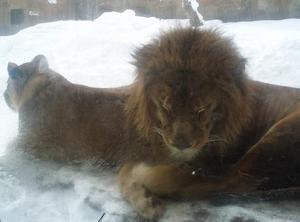 k-lion-s.JPG
